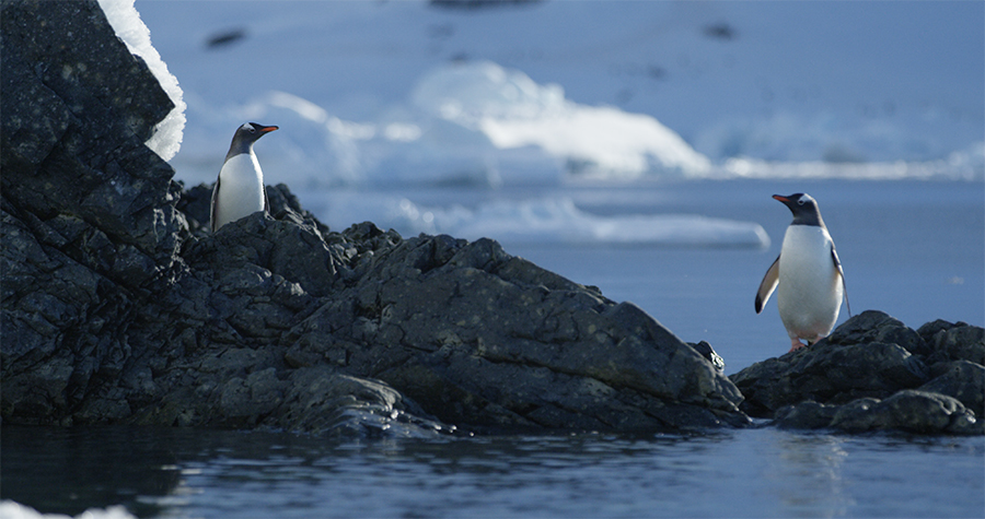 There are eight species of penguins in Antarctica. These guys are Gentoo penguins.